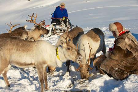 saami: Tromso, Norway, March 28, 2011 - Two Saami men feed reindeers in harsh winter conditions, Tromso region, Northern Norway. Editorial