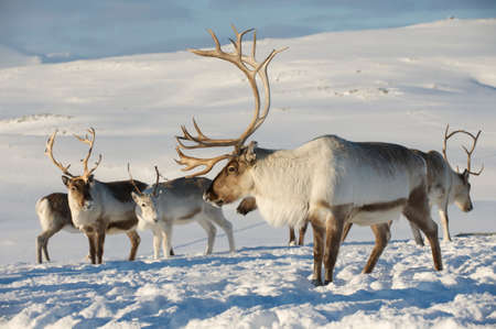Reindeers in natural environment, Tromso region, Northern Norway 免版税图像