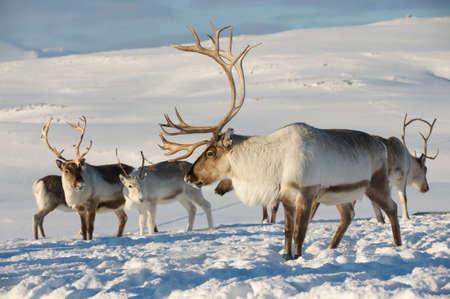 Reindeers in natural environment, Tromso region, Northern Norway Archivio Fotografico
