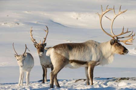Rennes en milieu naturel, dans la région de Tromsø, Norvège du Nord