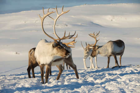 Reindeers in natural environment, Tromso region, Northern Norway Stock Photo