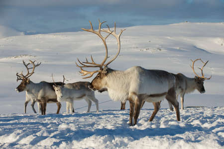 Reindeers in natural environment, Tromso region, Northern Norway Stok Fotoğraf