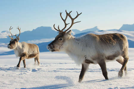 elk horn: Reindeers in natural environment, Tromso region, Northern Norway Stock Photo