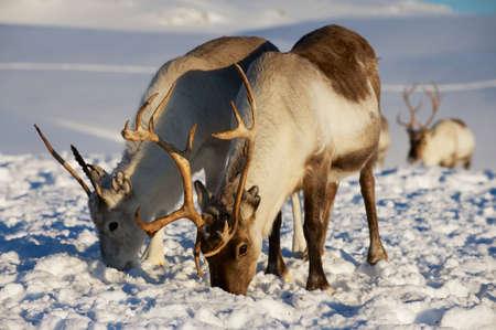renna: Renne in ambiente naturale, regione Tromso, Norvegia settentrionale Archivio Fotografico