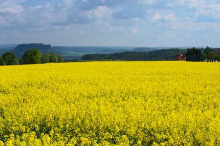 Rape field in early spring in Saxony, Germany. Rapeseed is mainly cultivated for biofuel production. photo