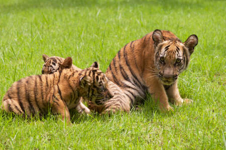 indochina: Baby Indochinese tigers play on the grass. The Indochinese tiger (Panthera tigris corbetti) is a tiger subspecies found in the Indochina region of Southeastern Asia.