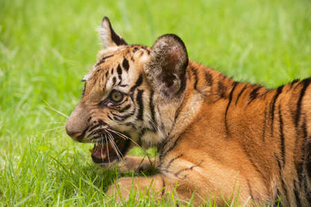 indochina: Baby Indochinese tiger plays on the grass. The Indochinese tiger (Panthera tigris corbetti) is a tiger subspecies found in the Indochina region of Southeastern Asia.