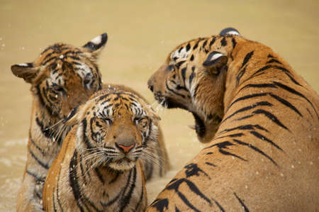 Adult Indochinese male tiger growls to the female. The Indochinese tiger (Panthera tigris corbetti) is a tiger subspecies found in the Indochina region of Southeastern Asia.