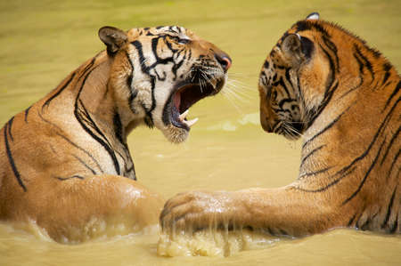 predominate: Adult Indochinese tigers fight in the water. The Indochinese tiger (Panthera tigris corbetti) is a tiger subspecies found in the Indochina region of Southeastern Asia. Stock Photo