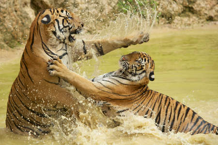 Adult Indochinese tigers fight in the water. The Indochinese tiger (Panthera tigris corbetti) is a tiger subspecies found in the Indochina region of Southeastern Asia. Stock Photo