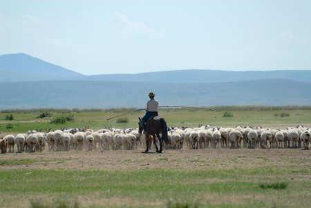 tends: Circa Harhorin, Mongolia, August 25, 2006 - Mongolian man tends herd of sheep circa Harhorin, Mongolia.