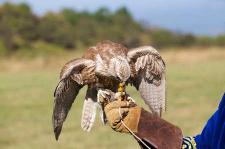 falcon: Falcon eats chicken meat sitting at mans hand, Almaty, Kazakhstan. Stock Photo