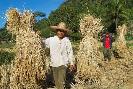 arroces: Chiang Mai, Tailandia, 15 de noviembre de 2008 - La gente de Chan tribu de la colina subida cosecha en Chiang Mai, Tailandia. Editorial