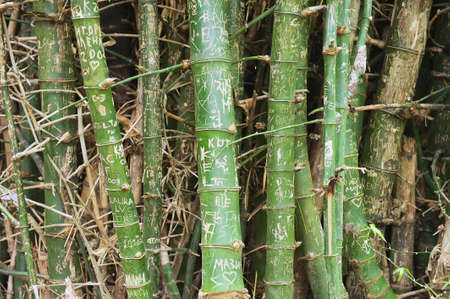 vandalize: Clump of bamboo trunks with names on the bark in Suphan Buri, Thailand. Stock Photo