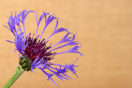centaurea: Cornflower centaurea cyanus close up against the beige background. Stock Photo