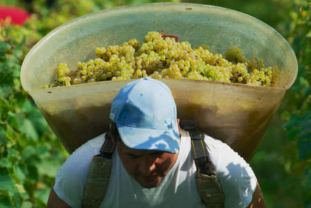 seasonal worker: Fechy, Switzerland, September 22, 2007 - Seasonal worker carries harvested grapes at a vineyard in Fechy, Switzerland.