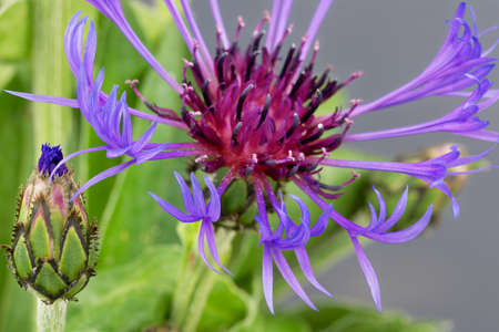 centaurea: Cornflower centaurea cyanus close up. Stock Photo