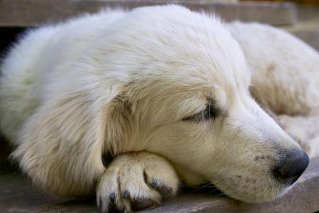 Golden retriever three months tired dog sleeps.