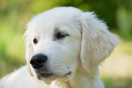 three months old: Golden retriever three months old dog portrait with a green grass background..