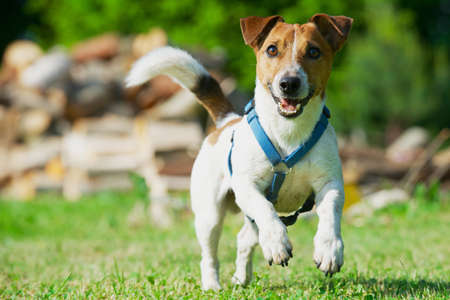 Jack Russel Terrier in a blue harness runs on a grass.