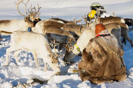 Tromso, Norway, March 28, 2011 - Saami man feeds arctic reindeers in deep snow winter in Tromso region, Northern Norway.