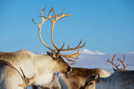 Reindeers in natural environment with a deep blue sky at the background in Tromso region, Northern Norway. Фото со стока