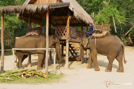 LUANG PRABANG, LAOS - APRIL 19, 2012: People get elephants ready and saddle them for riding tourists at the Elephant village in Luang Prabang, Laos.