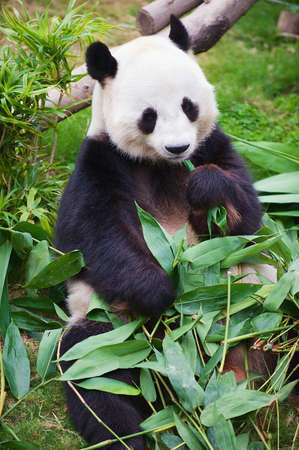 Giant panda bear eats bamboo leaves in a zoo in the Ocean park in Hong Kong, China.