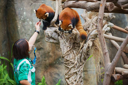 Hong Kong, China - September 14, 2012: Employee feeds two red pandas in a zoo in the Ocean Park in Hong Kong, China.
