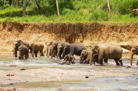 Herd of Indian eephants with babies crosses river in Pinnawala, Sri Lanka.