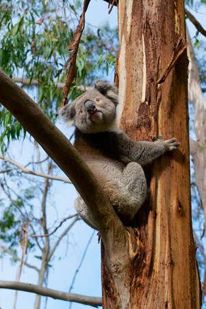 Ours koala australien grimpant sur l'arbre d'eucalyptus, Victoria, Australie.