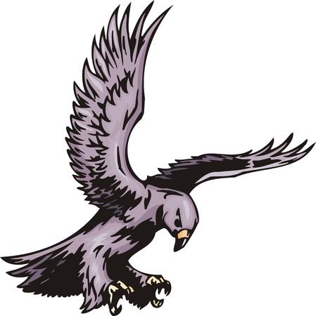 azor: El azor con plumaje violeta. Aves rapaces.  Ilustraci�n - versiones de color blanco y negro.