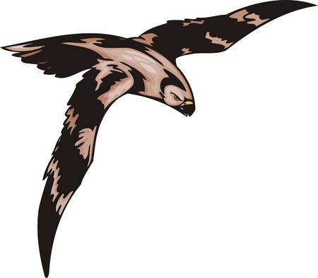 piume: Il falco con piumaggio marrone si prepara per l'attacco. Uccelli predatori. illustrazione - colore b  w versioni.