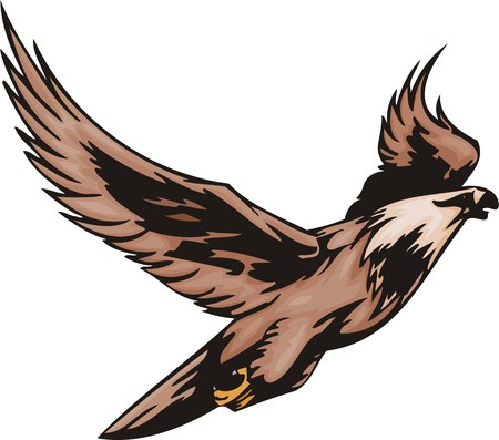 bird of prey: The eagle with brown plumage is going to attack the purpose. Predatory birds.  illustration - color   bw versions.