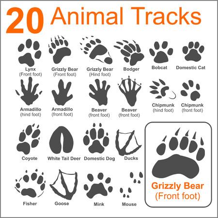 grizzly: 20 Animaux Pistes sur blanc background- ensemble de vecteur - vecteur illustration. Illustration