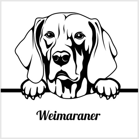 Weimaraner - Peeking Dogs - breed face head isolated on white