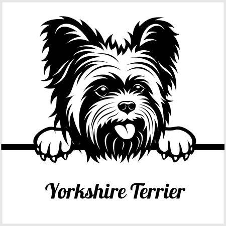 Yorkshire Terrier - perros que miran a escondidas - - cabeza de la cara de la raza aislada en blanco