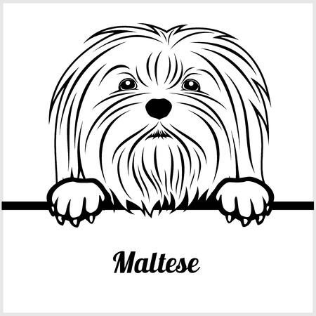 Maltese - Peeking Dogs - - breed face head isolated on white Illustration