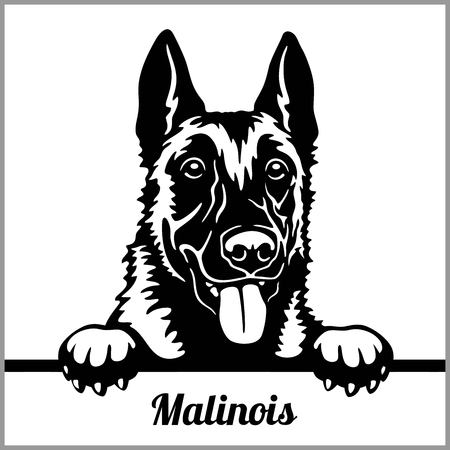 Malinois - Peeking Dogs - - breed face head isolated on white