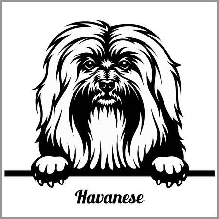 Havanese - Peeking Dogs - - breed face head isolated on white