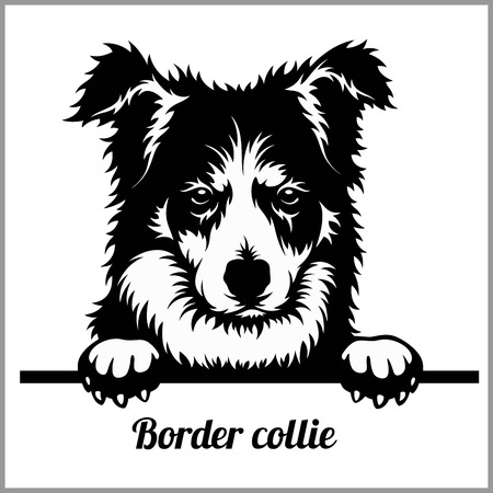 Border Collie - Peeking Dogs - - breed face head isolated on white