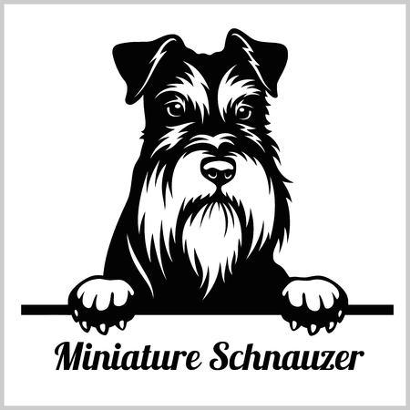 Schnauzer miniatura - perros que miran a escondidas - cabeza de la cara de la raza aislada en blanco