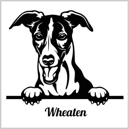 Wheaten - Peeking Dogs - breed face head isolated on white