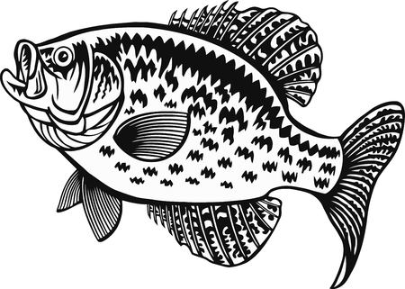 White Crappie fish - Freshwater sport fish - vector illustration Ilustrace