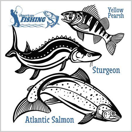 Yellow Pearsh, Sturgeon and Atlantic Salmon - fishing on usa isolated on white Vettoriali