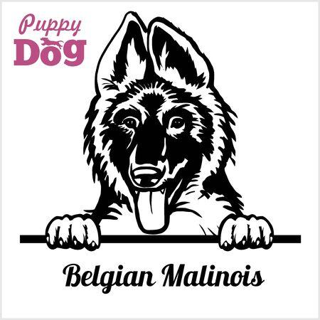 Puppy Belgian Malinois - Peeking Dogs - breed face head isolated on white