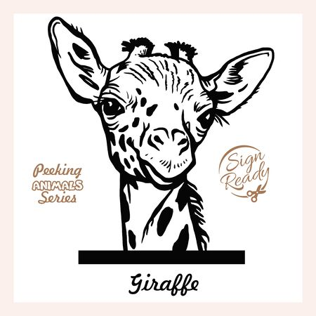 Peeking Giraffe - Funny Giraffe peeking out - face head isolated on white