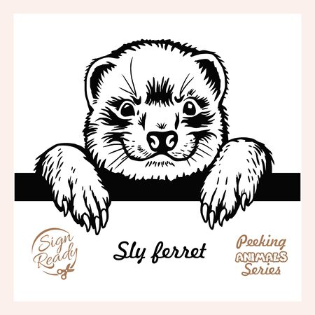 Peeking Sly ferret - Funny ferret peeking out - face head isolated on white