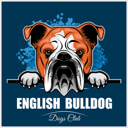 English Bulldog - Peeking Dogs - breed face head isolated on blue
