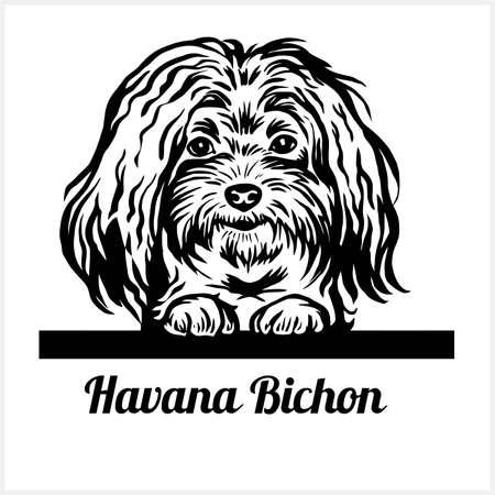 Havana Bichon - Peeking Dogs - breed face head isolated on white